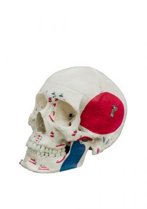 Раскрашенная модель черепа