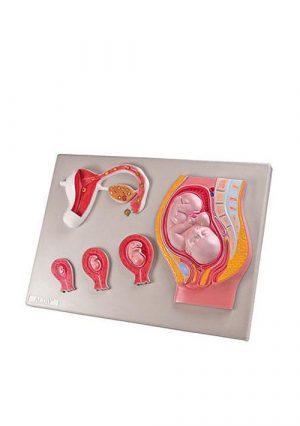Эмбриональное развитие плода человека, размер натуральный, материал-пластик.