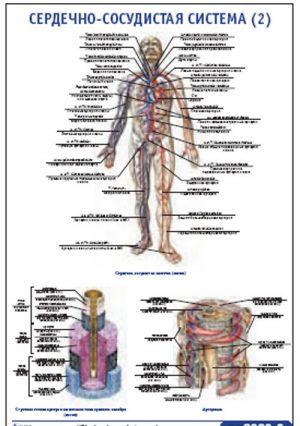 """Плакат """"Сердечно-сосудистая система 2"""" Pg0068-2"""