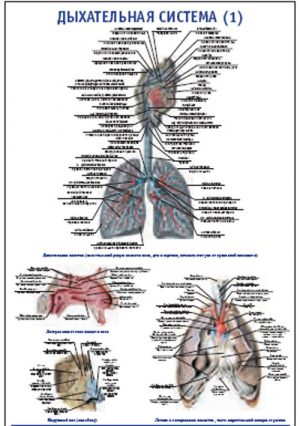 """Плакат """"Дыхательная система 1"""" Pg0092-1"""