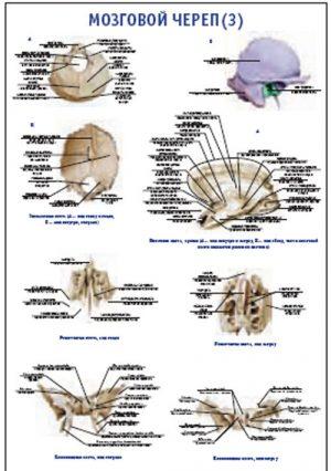"""Плакат """"Мозговой череп 3"""" Pg0043-3"""