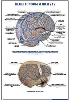 """Плакат """"Вены головы и шеи 1"""" Pg0056-1"""