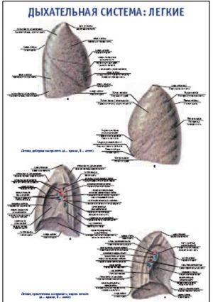 """Плакат """"Дыхательная система: легкие"""" Pg0092-2"""