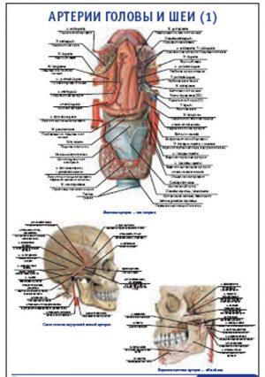 """Плакат """"Артерии головы и шеи 1"""" Pg0051-1"""