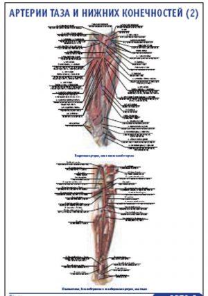"""Плакат """"Артерии таза и нижних конечностей 2"""" Pg0053-2"""