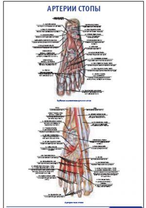 """Плакат """"Артерии стопы"""" Pg0053-3"""