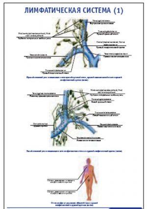 """Плакат """"Лимфатическая система 1"""" Pg0066-1"""