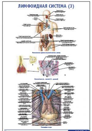 """Плакат """"Лимфоидная система 3"""" Pg0067-3"""