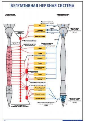 """Плакат """"Вегетативная нервная система"""" Pg0026"""