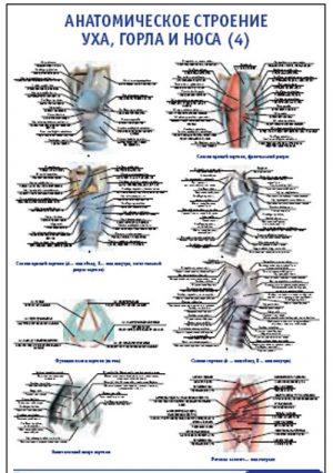 """Плакат """"Анатомическое строение уха, горла и носа 4"""" Pg0010"""