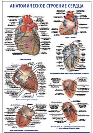"""Плакат """"Анатомическое строение сердца"""" Pg0005"""