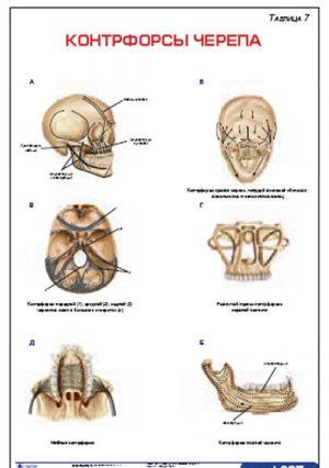 """Плакат """"Контрфорсы черепа"""" Pgk007"""
