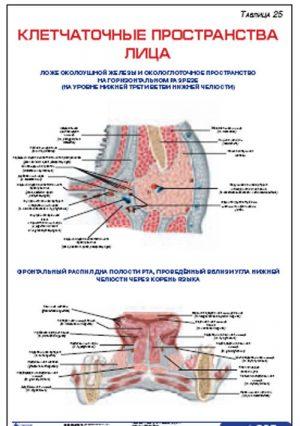 """Плакат """"Клетчаточные пространства лица"""" Pgk025"""