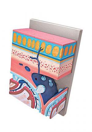 Слои тканей черепа. Увеличение в несколько раз
