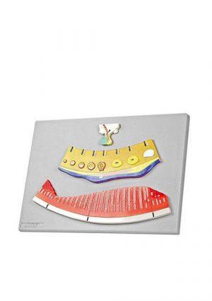 Периодические измиенения уровня женских гормонов и ендометрия, 3.части на доске, увеличеные в несколько раз, материал – пластик