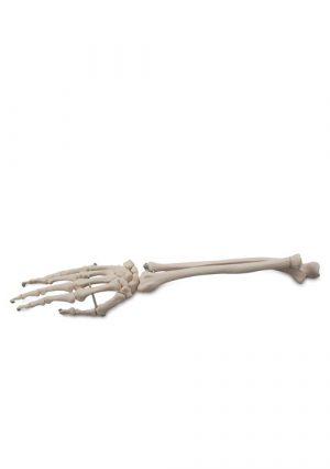 Кости кисти и предплечья. Натуральная величина