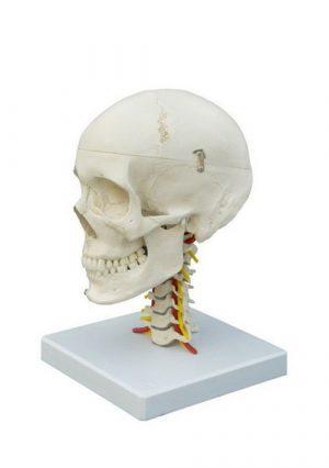 Модель черепа на шейных позвонках