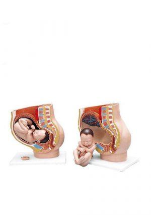Модель таза беременной женщины, 3 части
